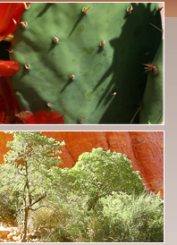 Prickley pear cactus and red rock vistas